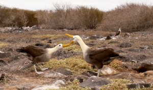 Waved Albatross bowing