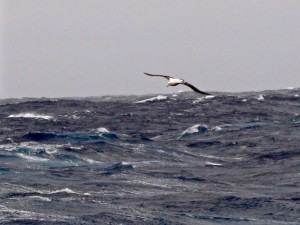 Black Browed Albatross in the Drake Passage